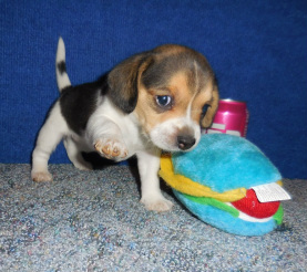 Pocket Beagle Puppy New Liter For Sale