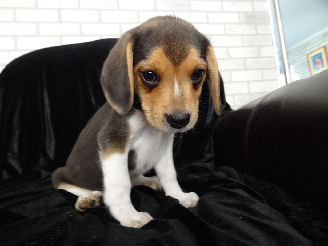 Beautiful Tiny Beagle Adorable Dog - 1946651_orig  Graphic_211092  .jpg