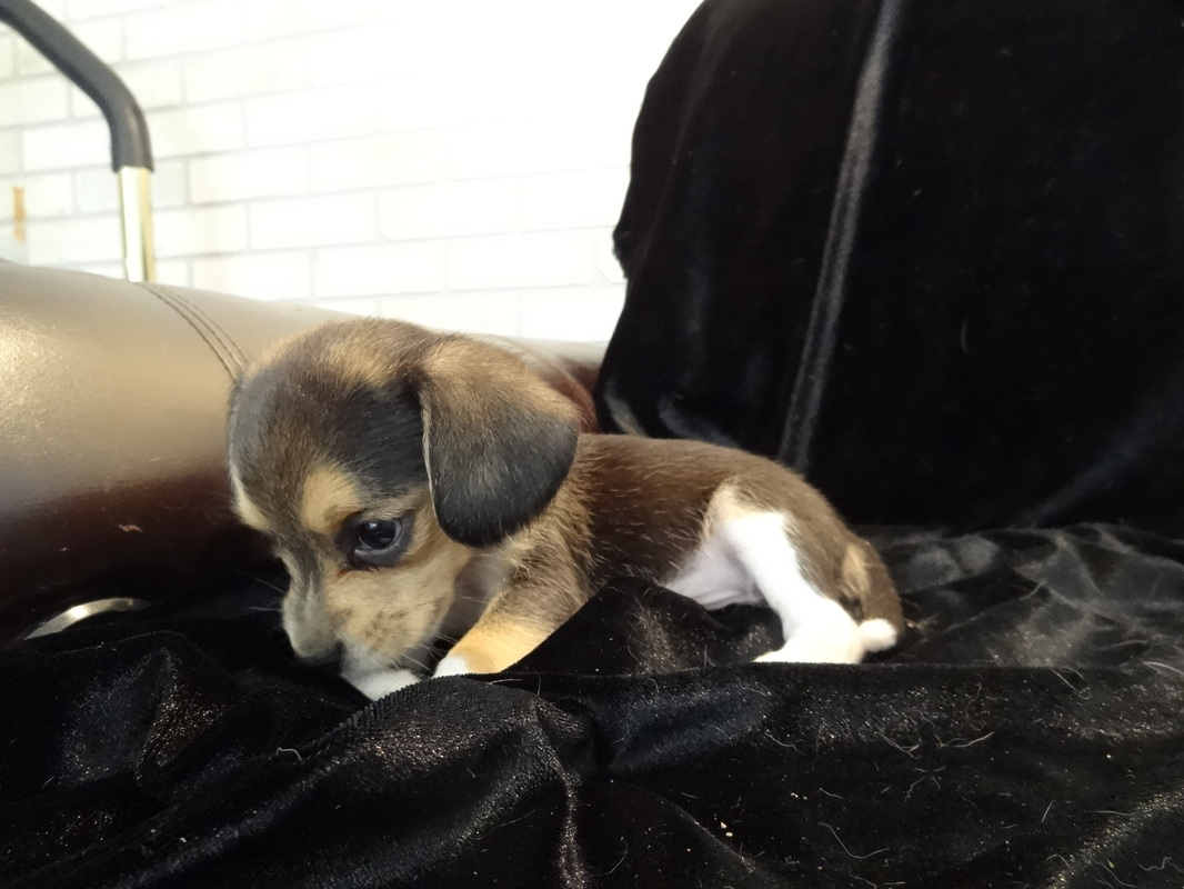 Miniature-Pure Bred-Pocket-Beagle-Puppy-Pictures