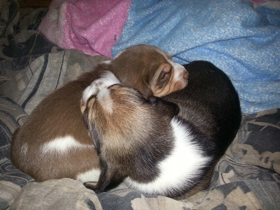 Pure-Bred-Beagles-Pocket-Puppies-Picture