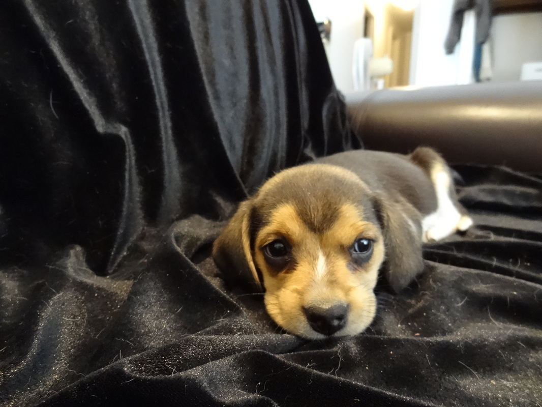 Pure-Bred-Beagles-Pocket-Tiny-Puppies-Picture