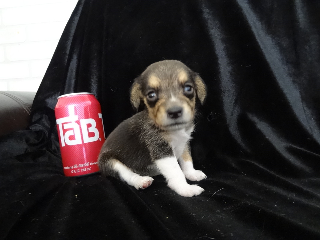 Beagle-Puppies-Tiny-Miniature-Dog-Pet-Picture