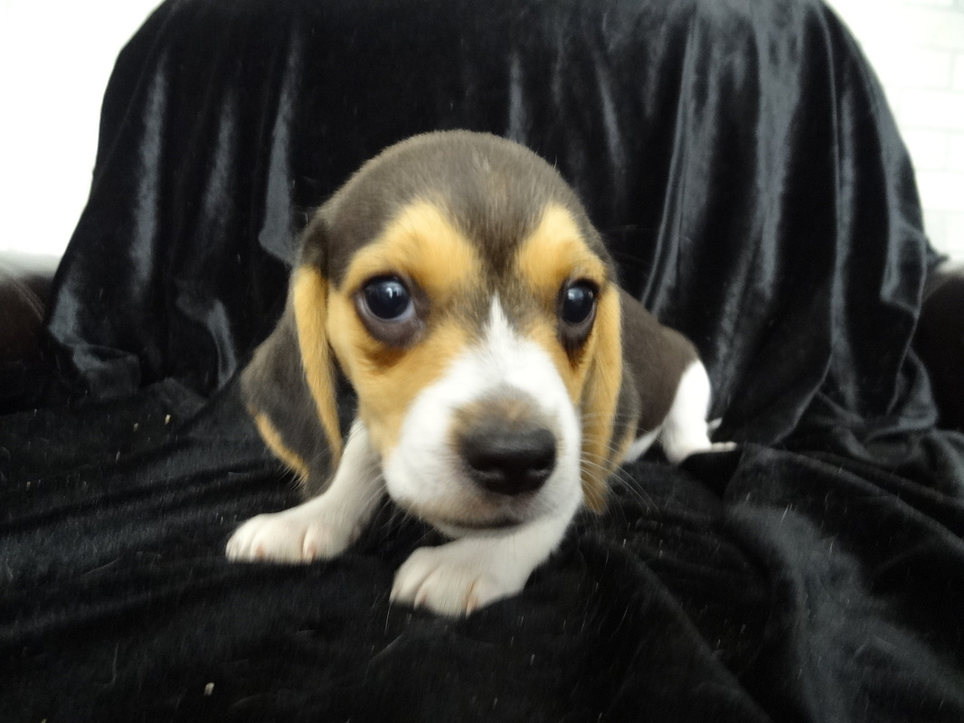 Mini-Beagles-Puppy-Pictures