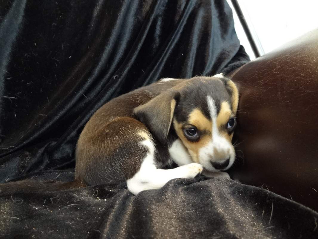 Pocket-Beagle-Puppy-Picture