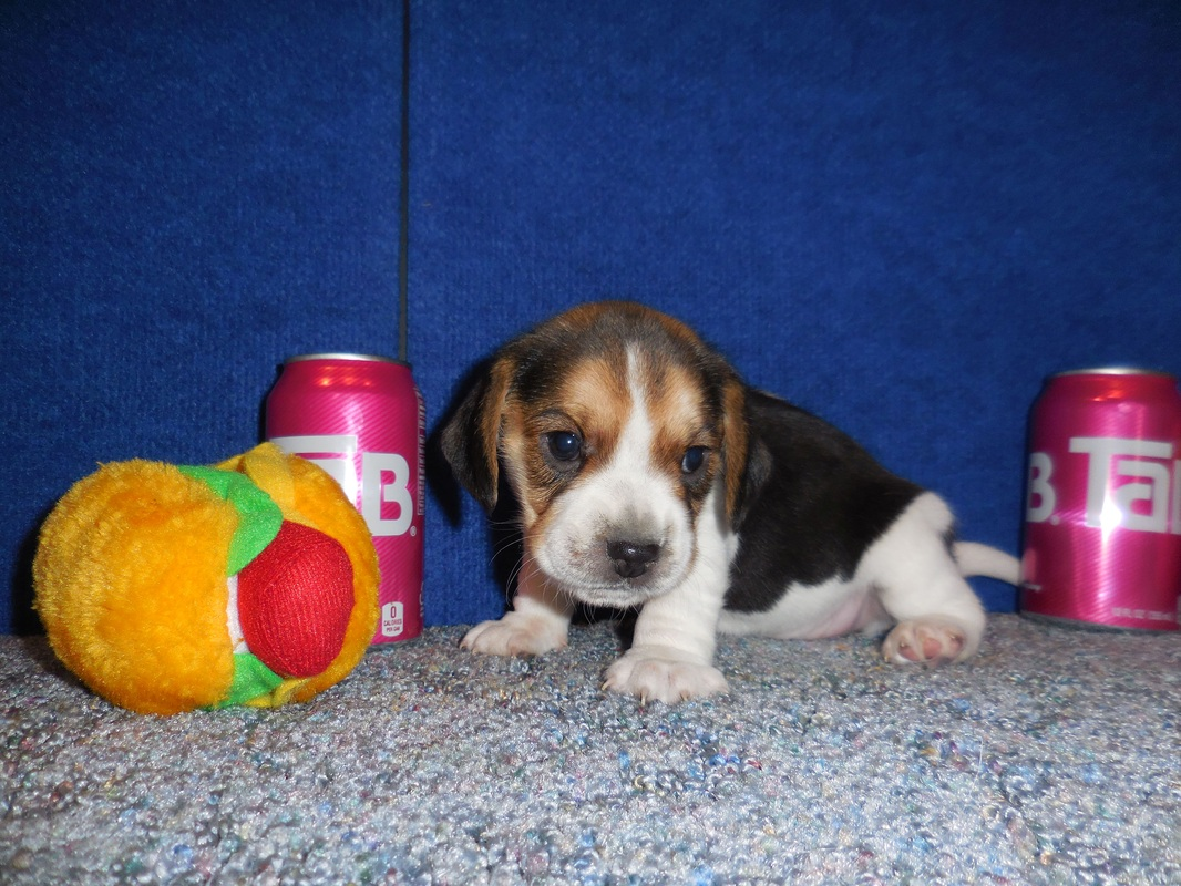 Pure Bred-Pocket-Beagle-Puppy-Pictures