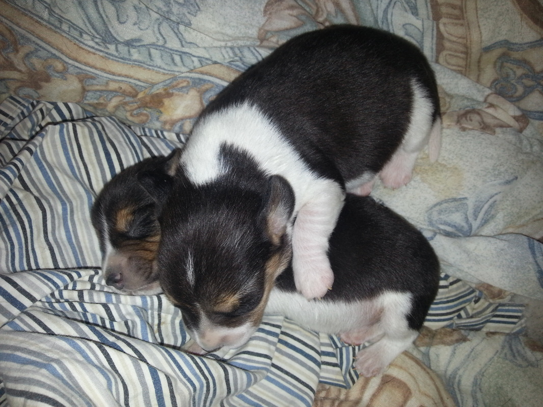 Tiny-Beagle-Puppies-Picture