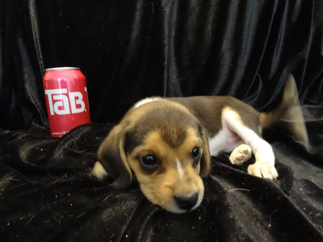 Cute-Adorable-Mini-Beagle-Puppy-Picture