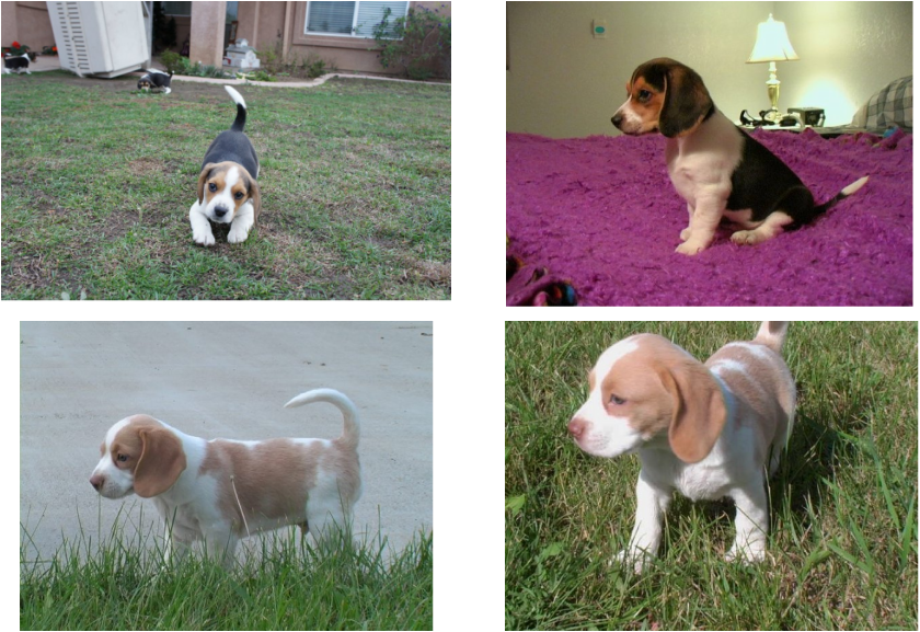 Very Cute Miniature Beagle Puppies Playing Bealges Puppy