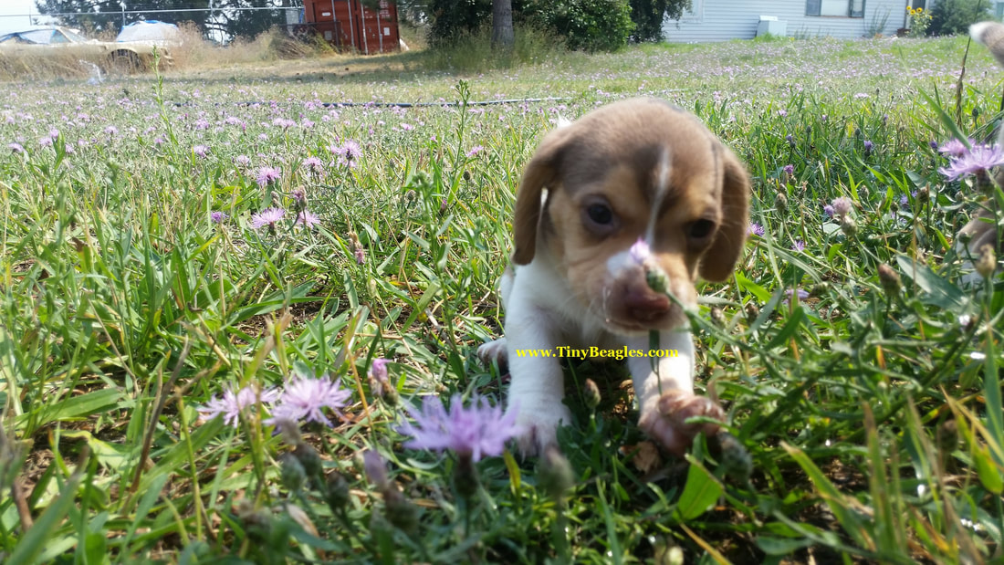 Tiny Pocket Beagle Puppy Picture