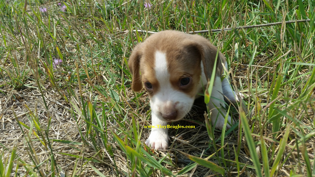 Mini Male Pocket Beagle Puppy Picture