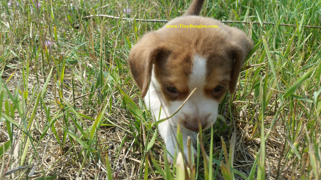 Queen Elizabeth Pocket Beagle Puppy Picture