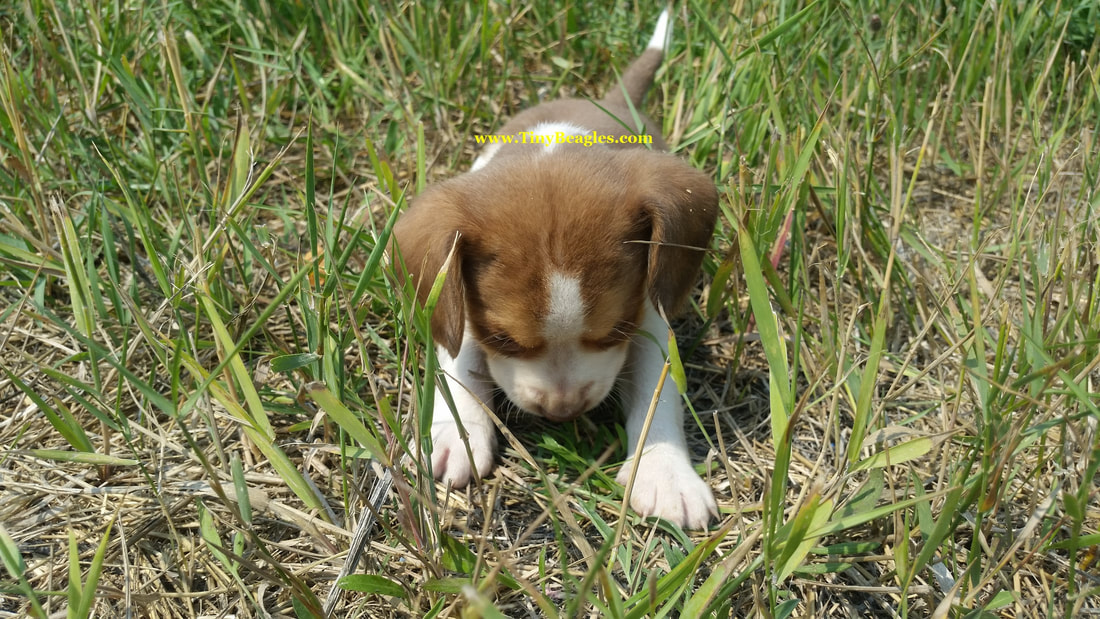Tiny Male Pocket Beagle Puppy Picture