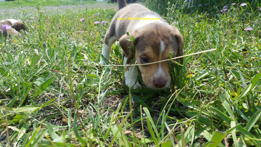 Mini Beagle Puppy Picture