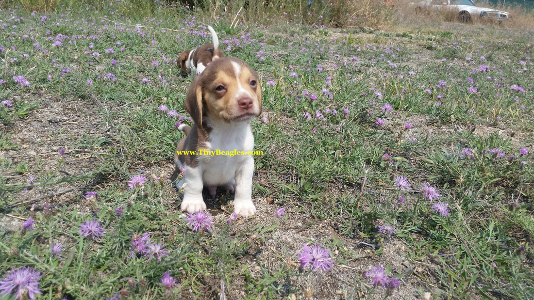 Tiny Beagle Puppy Picture